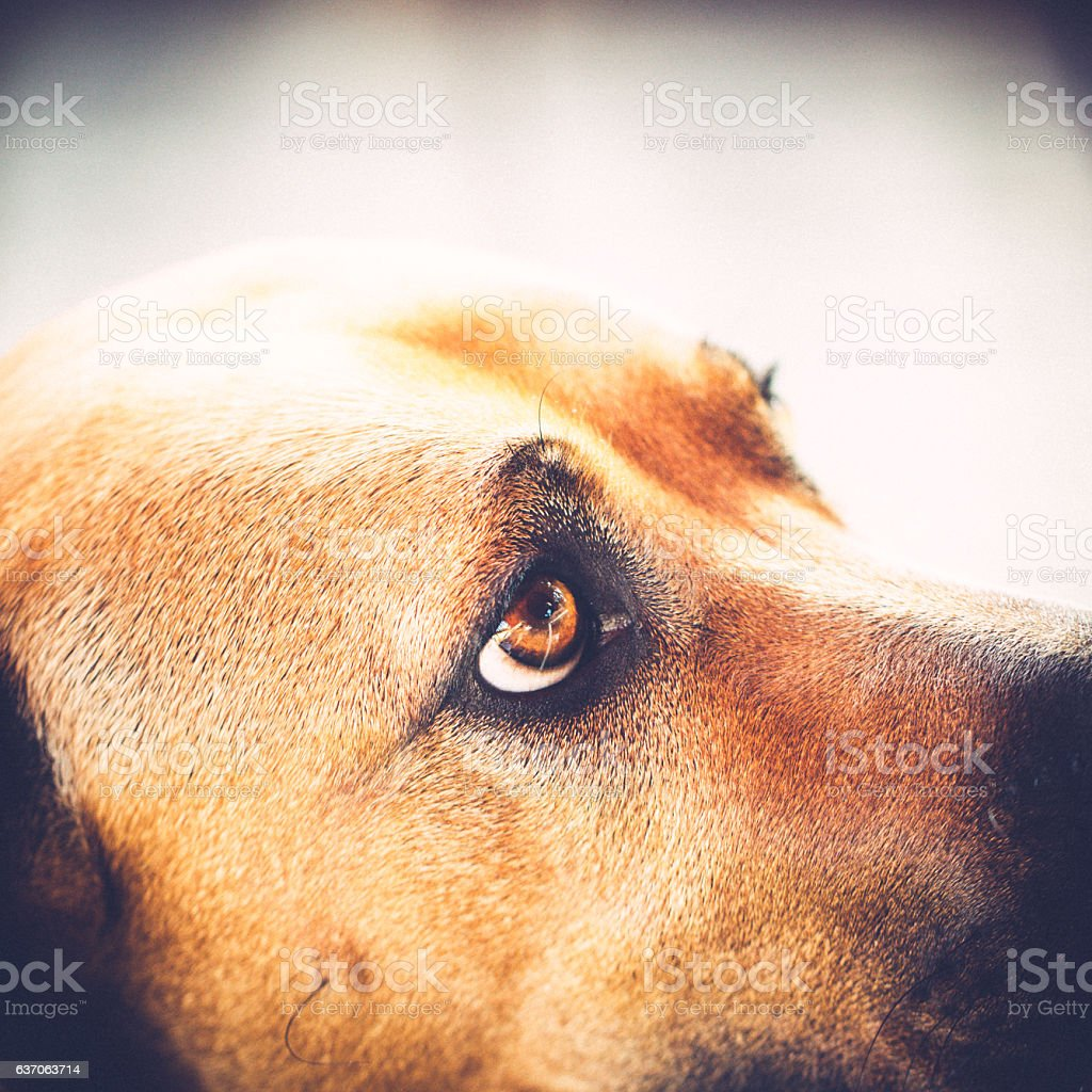 Eye of an Rhodesian Ridgeback is looking at you stock photo