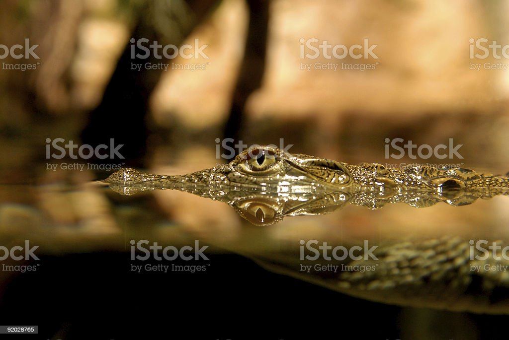 Eye of crocodile peeking up over top of water royalty-free stock photo