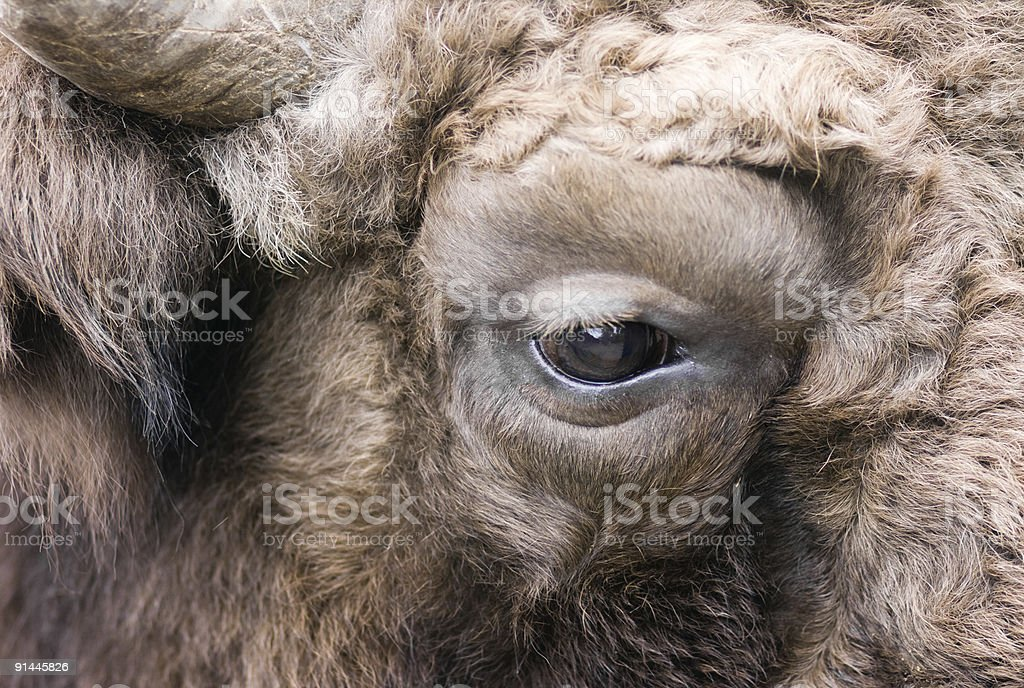 Eye of the bison stock photo