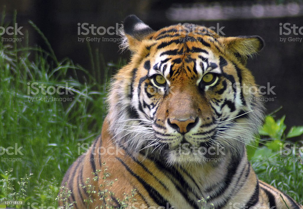 Eye of the Bored Tiger royalty-free stock photo