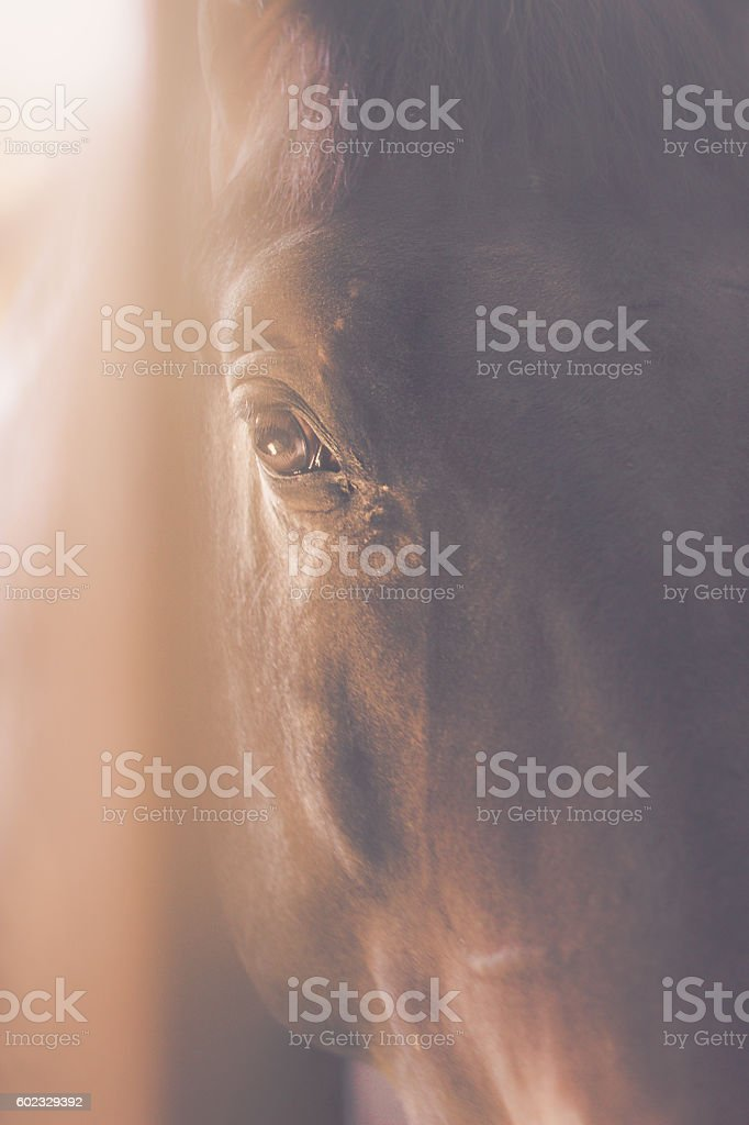 Eye of the brown horse stock photo