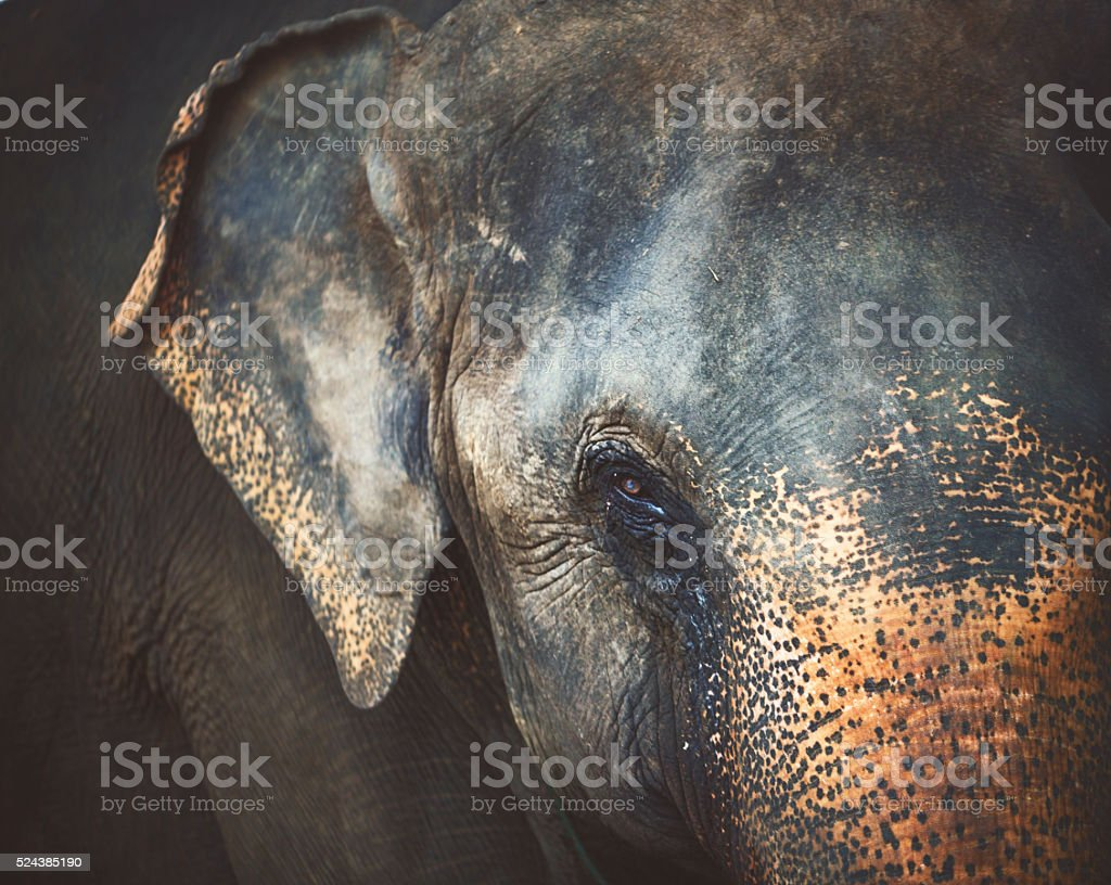 Eye of the elephant stock photo