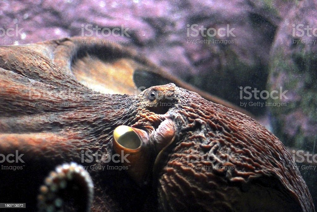 Eye of the Octopus royalty-free stock photo