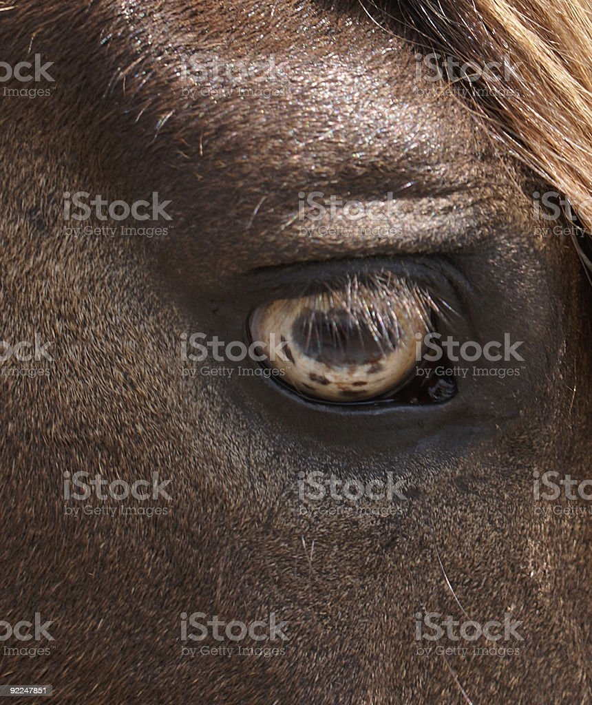 Eye Of The Paso Fino Horse stock photo