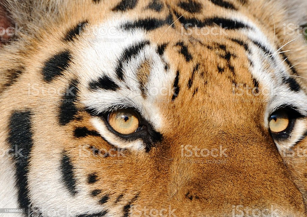 eye of the tiger royalty-free stock photo