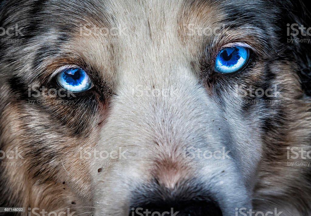 Eye, Siberian Husky stock photo