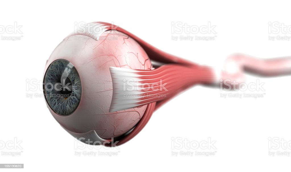 Eyeball with muscles and optic nerve stock photo