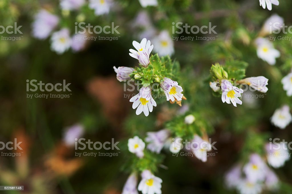 Eyebright flowers Euphrasia officinalis stock photo