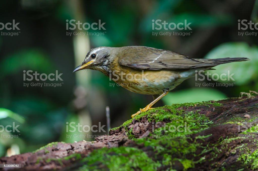 Eyebrowed Thrush Bird (Turdus obscures) stock photo