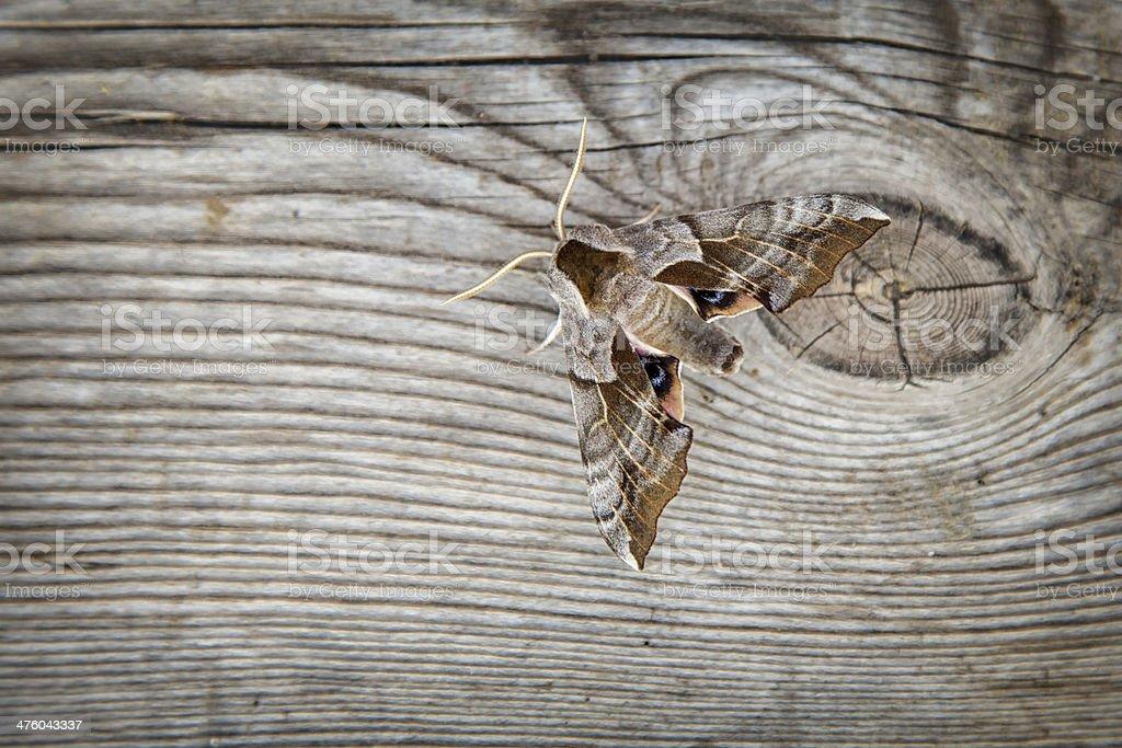 Eyed Hawk Moth on Wood stock photo