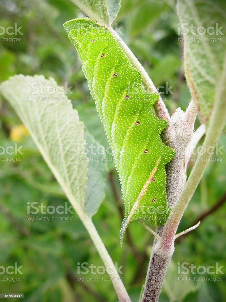 Eyed Hawk-Moth caterpillar (Smetheris ocellata) stock photo