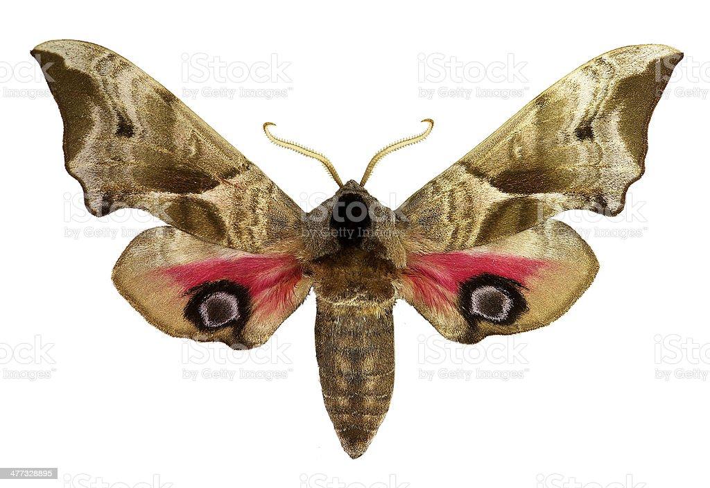 Eyed Hawk-moth (Smerinthus ocellatus) stock photo