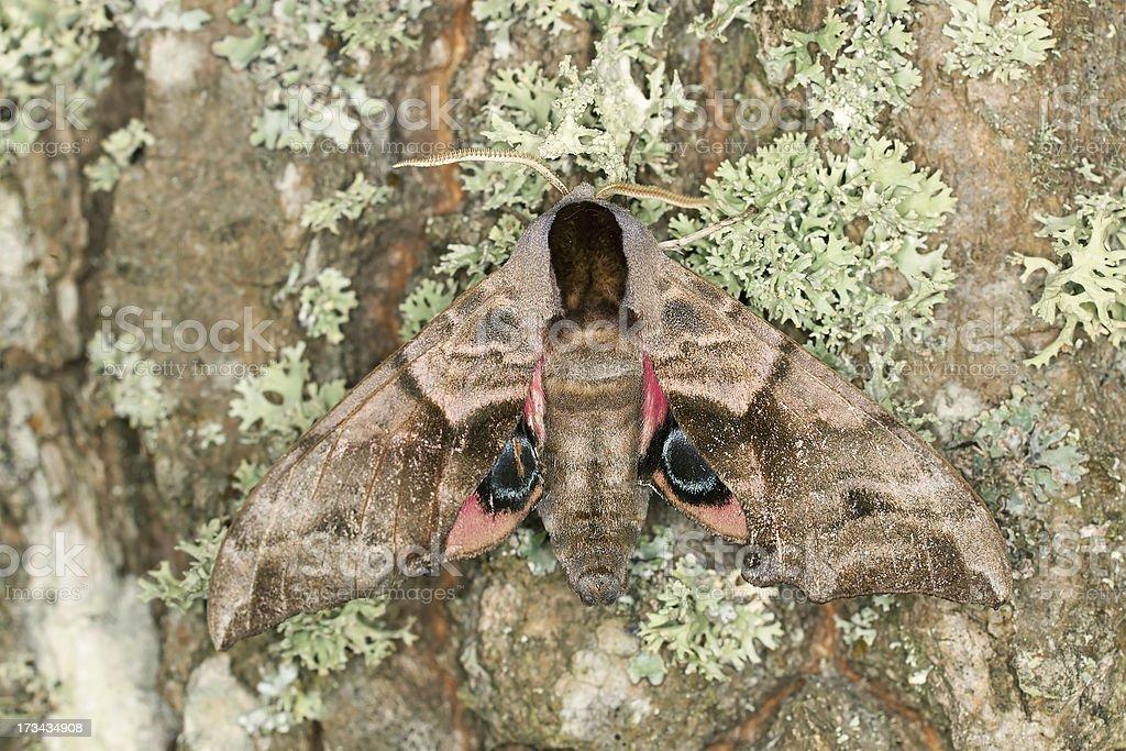 Eyed Hawk-Moth, Smerinthus ocellatus on oak, macro photo stock photo