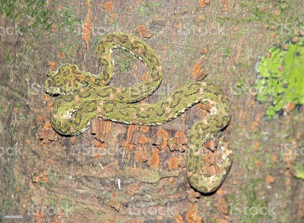 Eyelash Pit Viper Bothriechis schlegelii small poisons Costa Rica stock photo