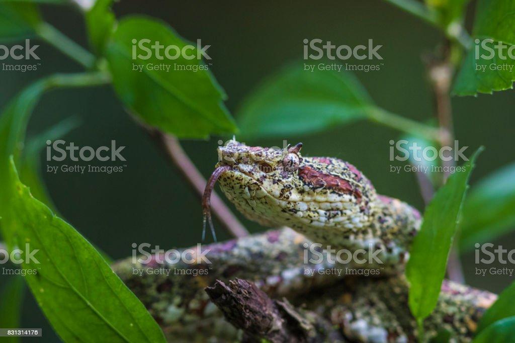 Eyelash viper, Bothriechis schlegelii stock photo