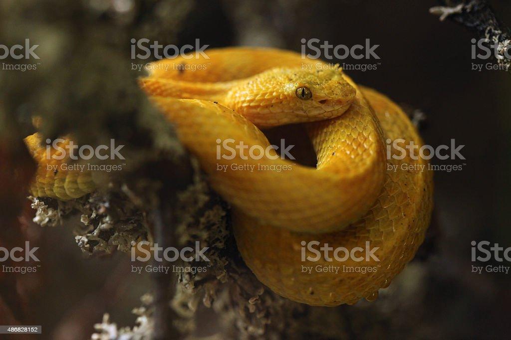 Eyelash viper (Bothriechis schlegelii). stock photo