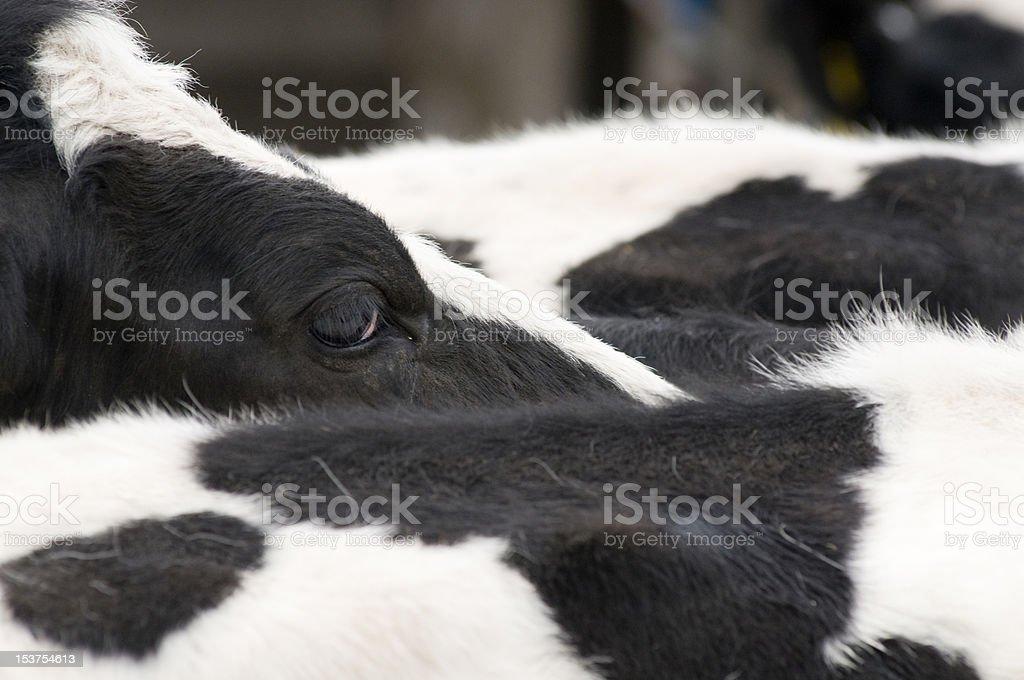 """Oeil """"s de vache photo libre de droits"""