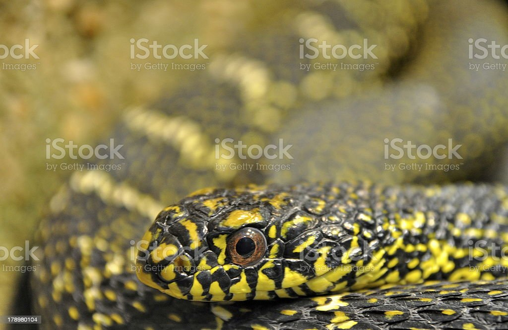Eyes of a black and yellow snake royalty-free stock photo