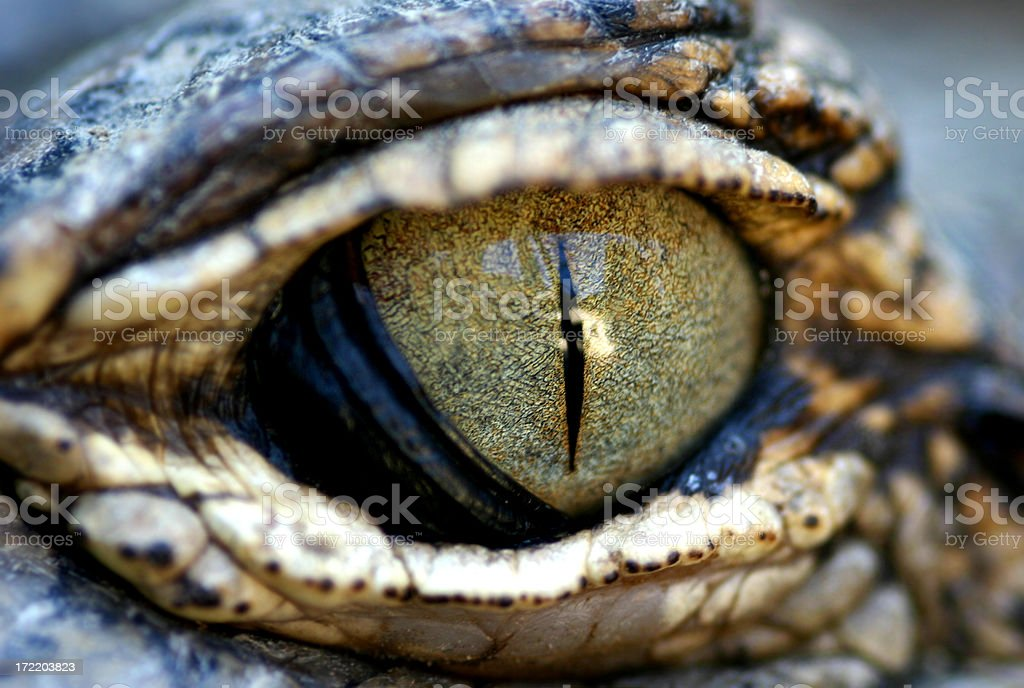 Eyes of a Gator stock photo