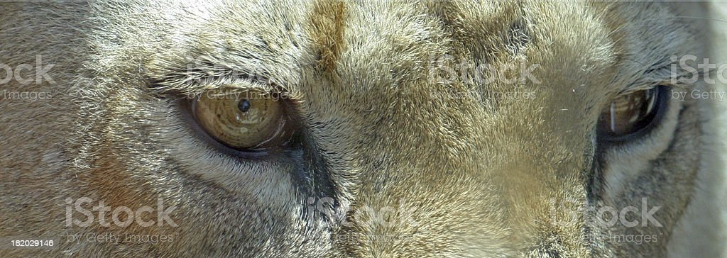 Eyes of a Lion royalty-free stock photo