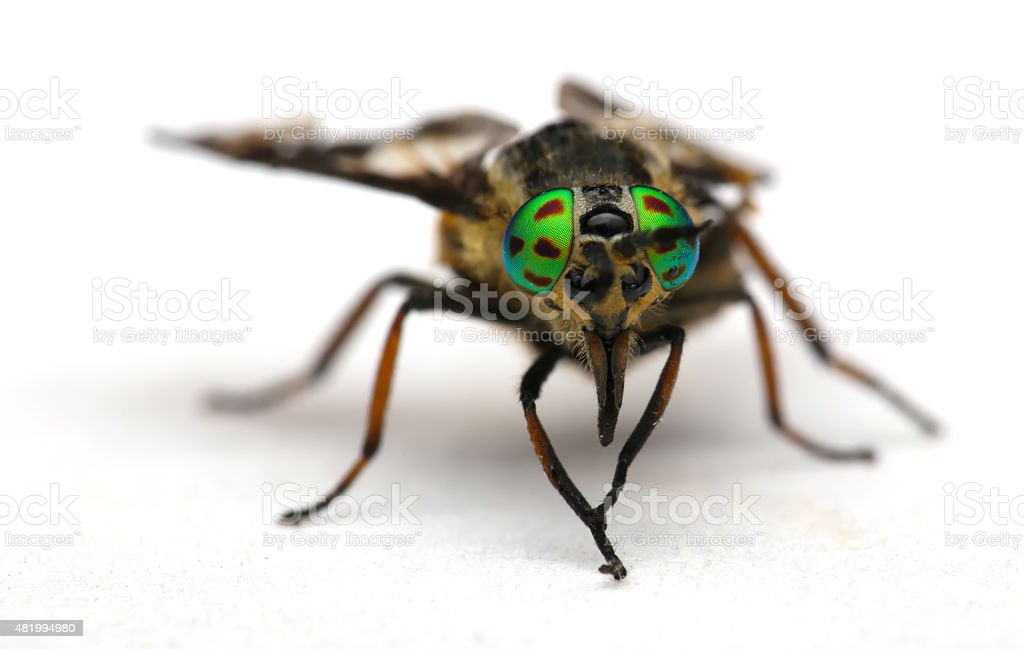 Eyes of an insect. Portrait  Gadfly. Hybomitra horse fly head stock photo