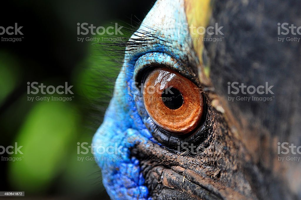 Eyes of Cassowary Bird stock photo