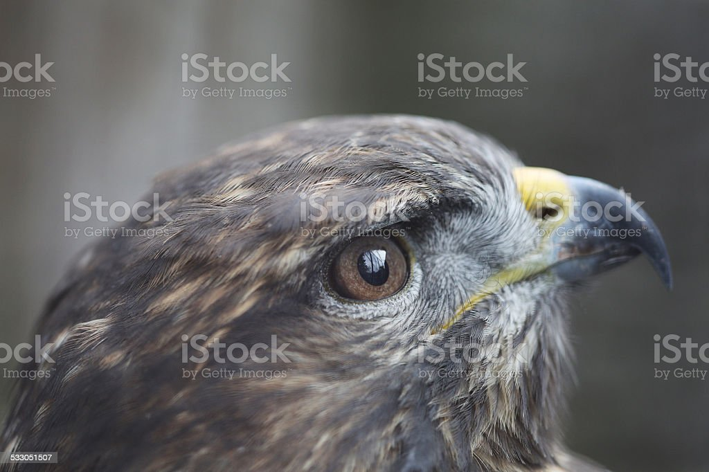 Eyes Of The Golden Eagle stock photo