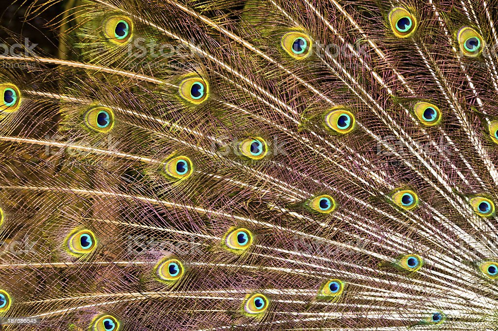 Eyes on Peacock feathers royalty-free stock photo