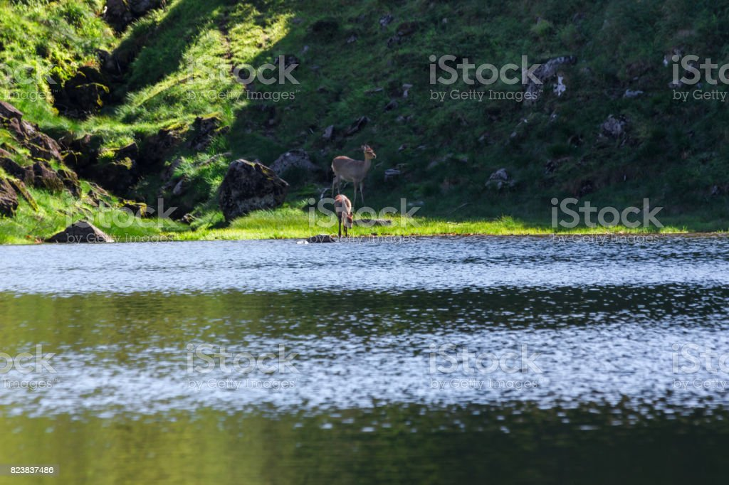 Ezo deer of Daisetsuyama stock photo