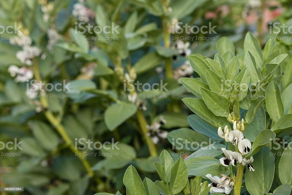 faba bean plant in bloom stock photo