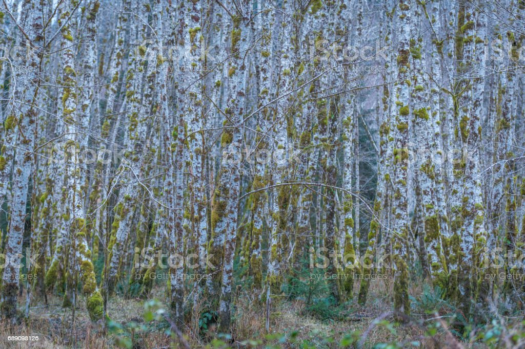 Fabulous autumn forest. Birches were overgrown with green moss. Upper Hoh Road. stock photo