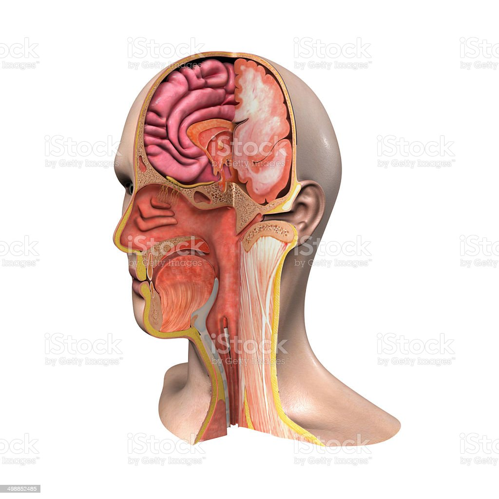 Face anatomy stock photo