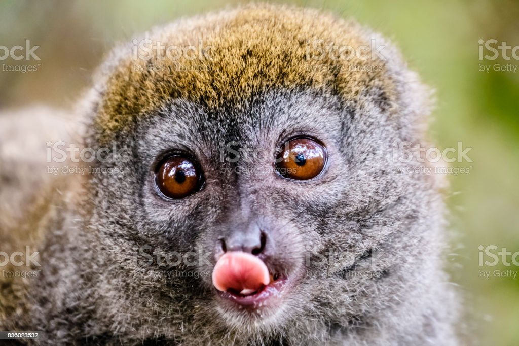 Face close up of Bamboo lemur sticking his tongue out stock photo