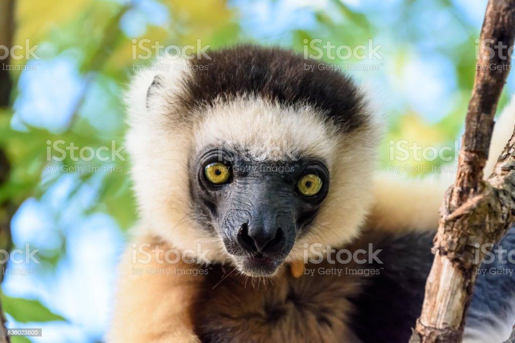 Face close up Sifaka Lemur on tree in Madagascar stock photo