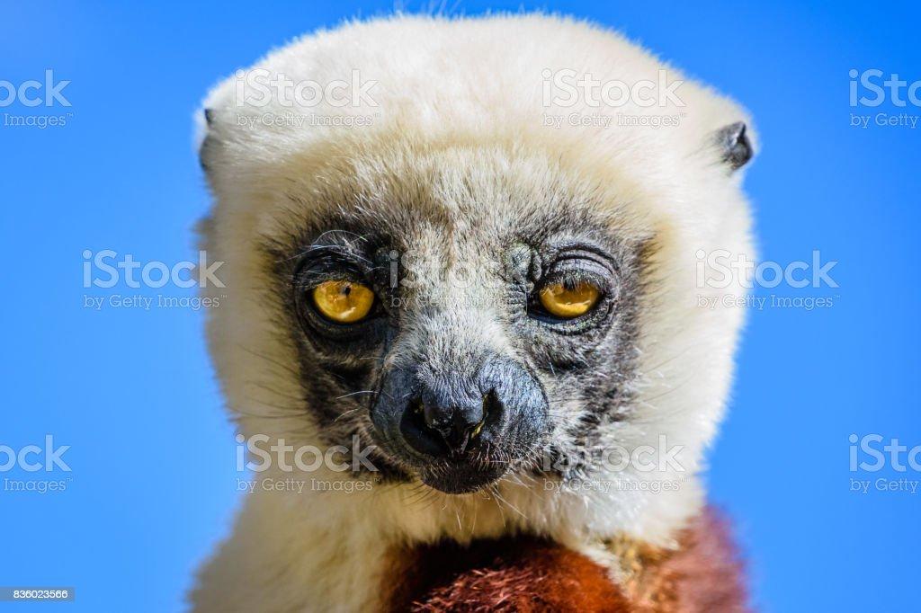 Face close up Sifaka Lemur with blue sky background stock photo
