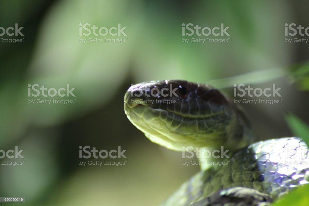 Face  grass snake, reptile, Serpentes stock photo