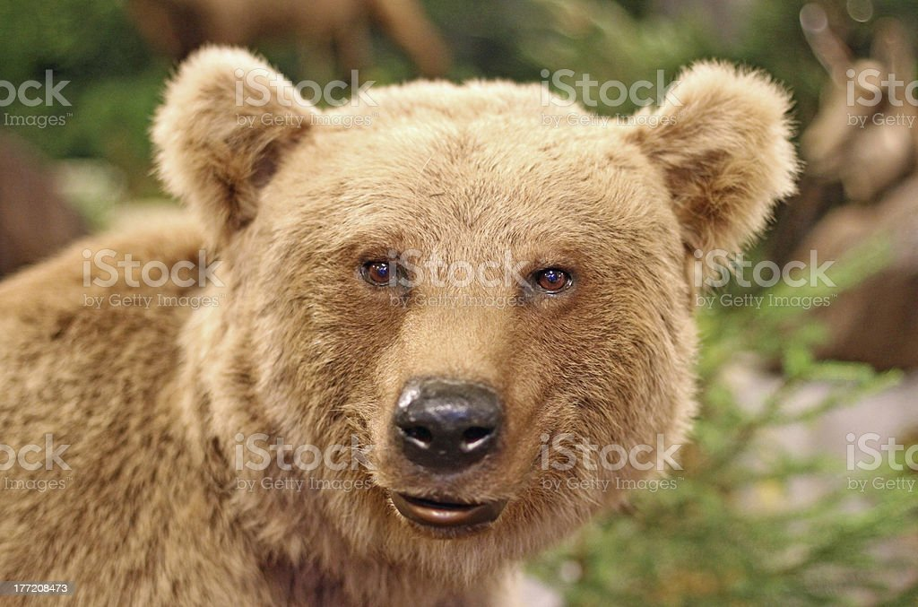 face of a brown bear stock photo