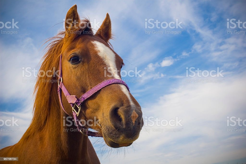 Face of a brown horse in front of a blue sky with clouds stock photo