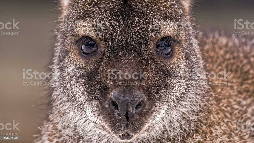Face of a red-necked wallaby or Bennett's wallaby (Macropus rufogriseus) stock photo
