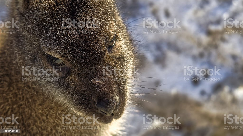 Face of a red-necked wallaby or Bennett's wallaby stock photo