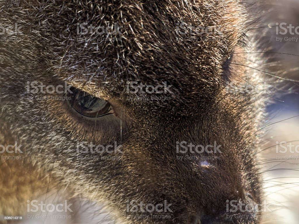 Face of a red-necked wallaby stock photo