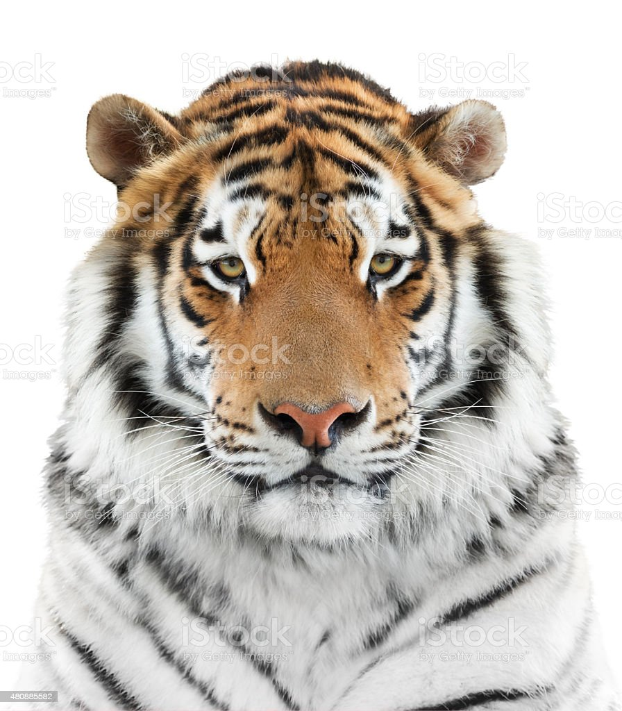 Face of a tiger stock photo