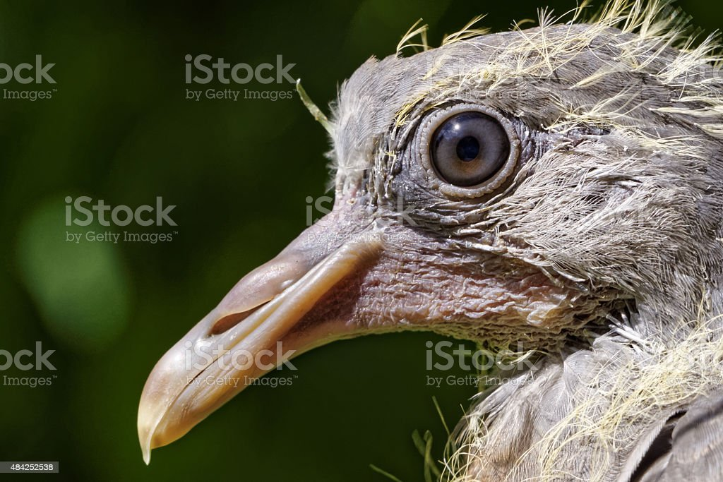 face of a very young common wood pigeon (Columba palumbus) stock photo