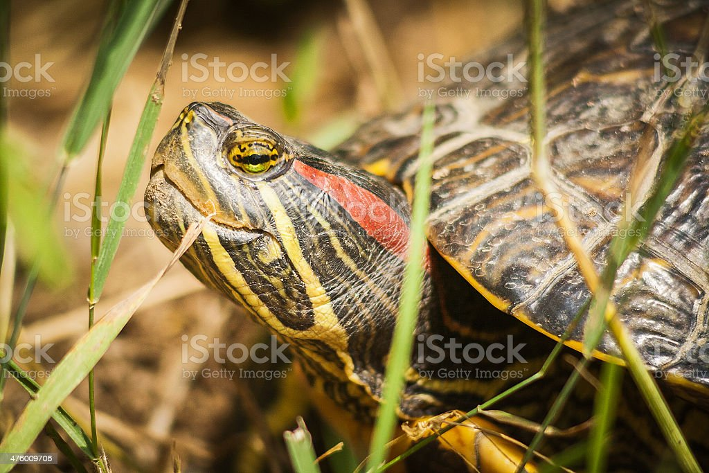 Face of adult Red Eared Slider Turtle stock photo