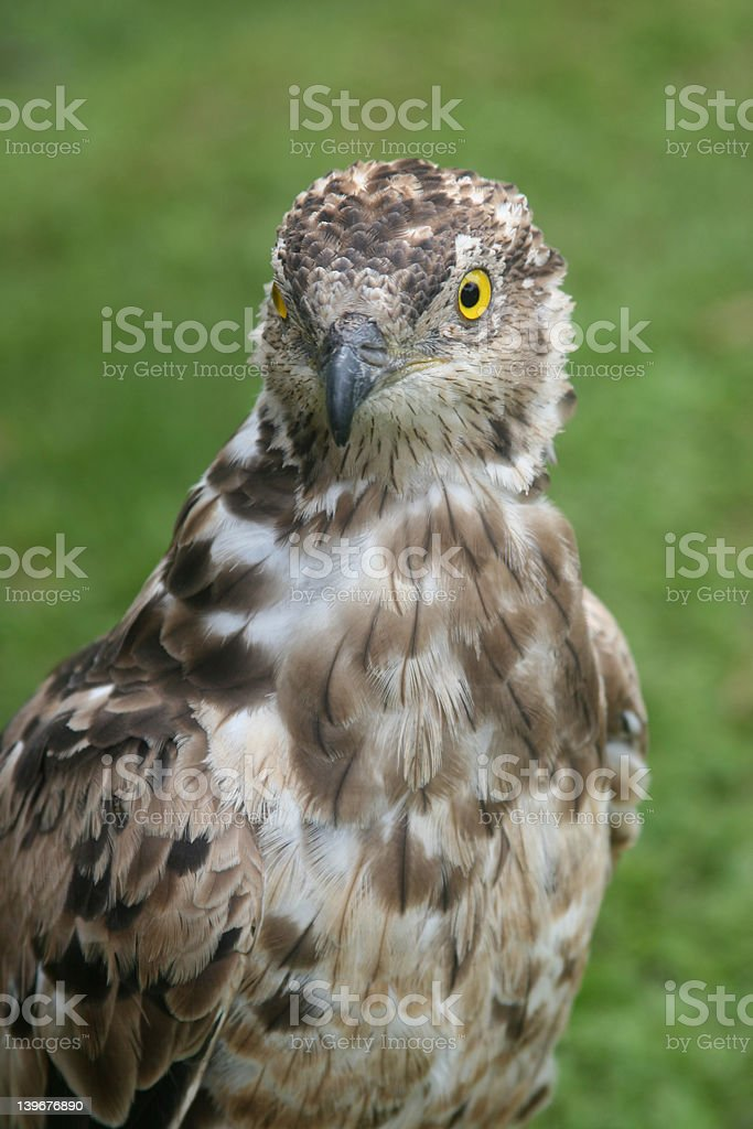 Face of an Eagle royalty-free stock photo
