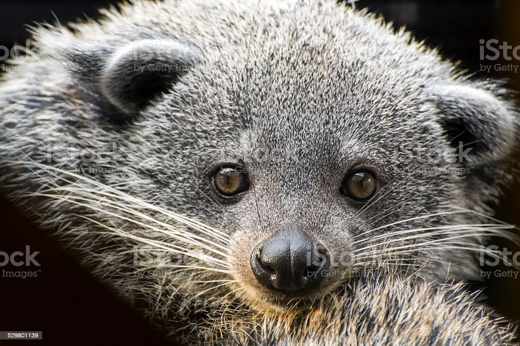 Face of binturong (Arctictis binturong) stock photo
