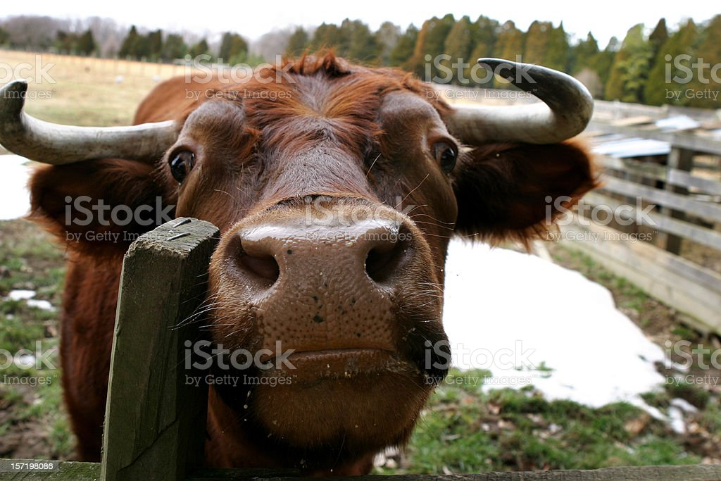Face of Bull with Horns on Farm royalty-free stock photo