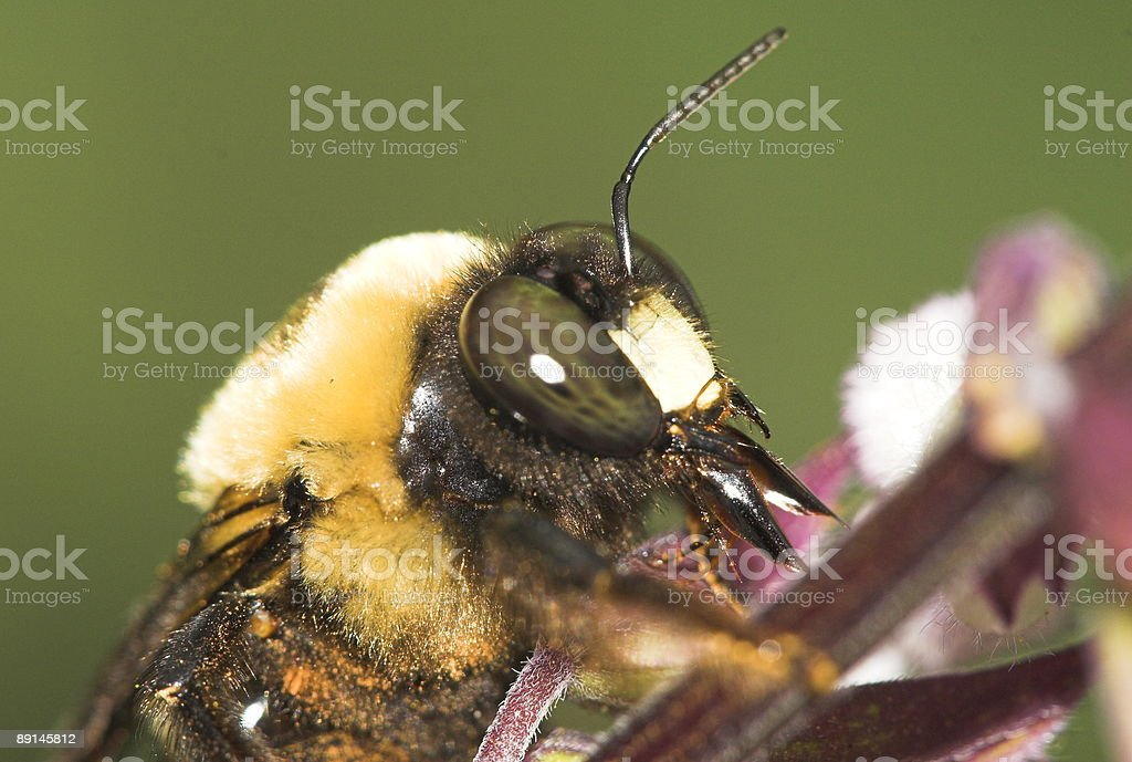 face of bumble bee stock photo