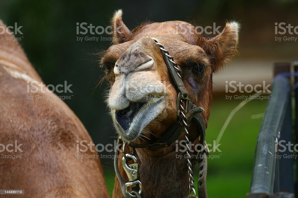face of camel stock photo