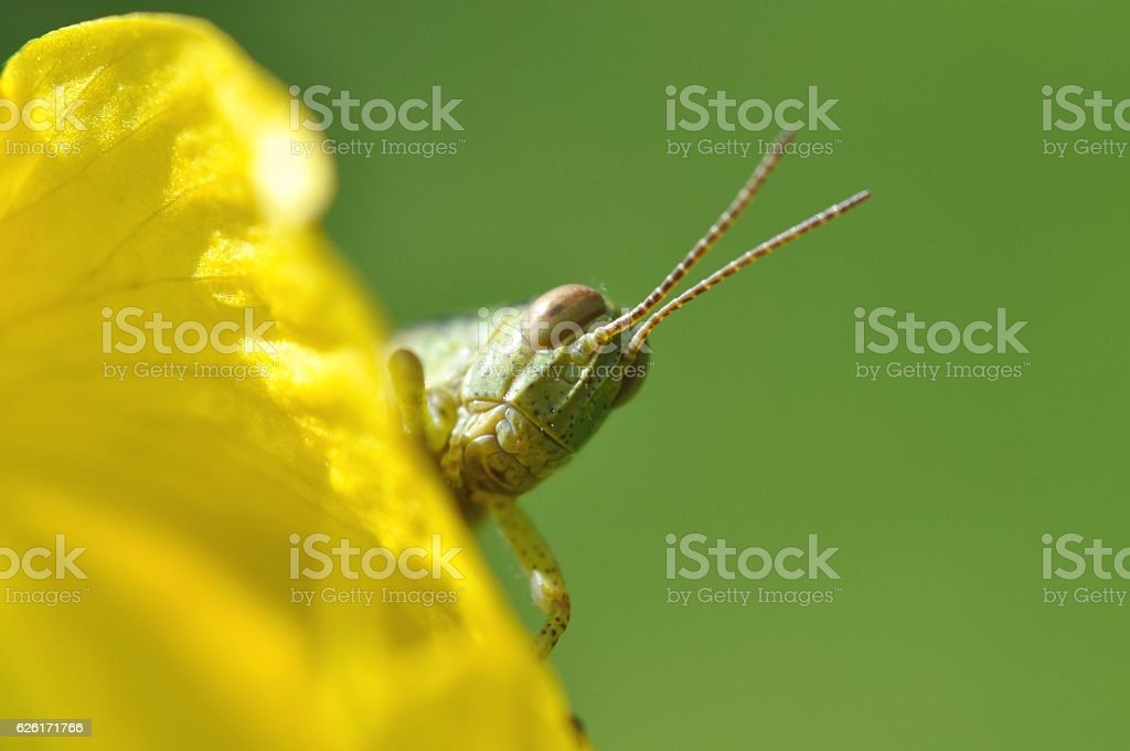 Face of grasshopper stock photo